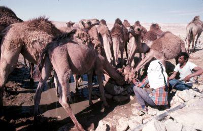 CamelsDrinking.jpg
