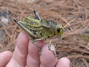 large-grasshopper-on-finger-tips